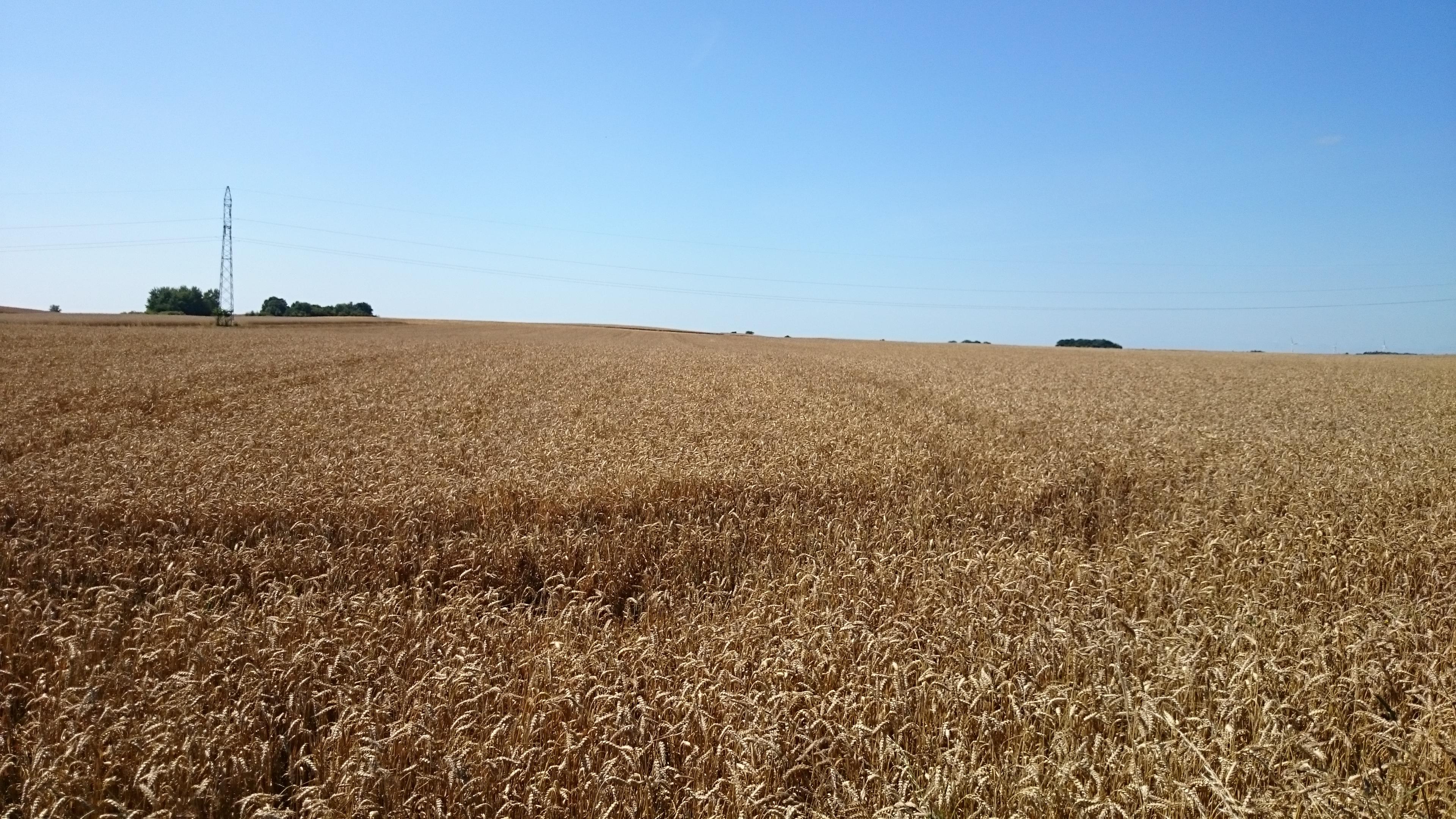 Prognozy cen pszenicy i żyta w czerwcu i wrześniu 2016 r.