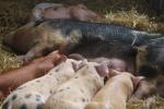 Pogłowie trzody chlewnej i produkcja wieprzowiny w Polsce