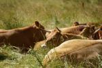 Regionalne zróżnicowanie cen skupu bydła