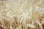 Cena pszenicy nabywanej przez Egipt wzrosła o ponad 2 dolary w obrębie tygodnia