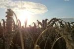 Notowania zbóż i oleistych. Pszenica mocno taniała pod wpływem rekordowej globalnej podaży (22.08.2016)