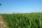 Ceny zbóż na giełdach towarowych (12.07.2020)