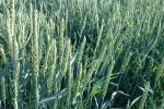 Unijny rzepak przekroczył poziom 410 eur/t, a pszenica wróciła w okolice półrocznych maksimów