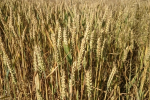 Rynek zbóż w kraju (24.02.2019)