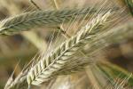 Prognozy cen pszenicy i żyta we wrześniu i grudniu 2016 r.