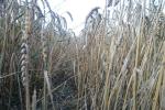 Cena pszenicy zakupionej przez Egipt wzrosła o 3-4 dolary w ciągu tygodnia