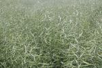 Tydzień zaczął się od korekty spadkowej na rynku zbóż, podczas gdy rzepak kontynuował przeceny