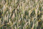Ceny zbóż na giełdach towarowych (09.12.2018)