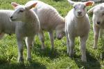 Spadek cen unijnych jagniąt