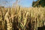 Rynek zbóż w kraju (25.11.2018)
