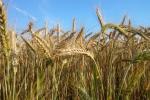 Ceny zbóż na giełdach towarowych (24.03.2019)