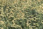 Unijny kontrakt na pszenicę najdroższy od początku sierpnia