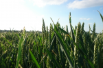 Ceny zbóż na giełdach towarowych (1.09.2019)