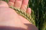 Wzrostowy tydzień na giełdowym rynku zbóż i oleistych