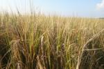 Ceny zbóż na giełdach towarowych (8.07.2018)