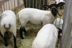Niskie ceny polskich owiec