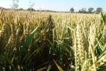 Rynek zbóż w kraju (8.10.2017)