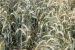 Ceny zbóż na giełdach towarowych (19.05.2019)