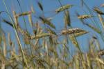 Ceny zbóż na giełdach towarowych (14.08.2016)