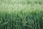 Rynek zbóż w kraju (30.06.2019)