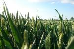 Rynek zbóż w kraju (03.06.2018)