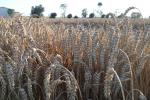 Ceny zbóż (19.07.2020)