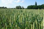 Amerykańska pszenica odbiła mocno w górę