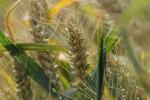 Rynek zbóż w kraju (28.06.2020)