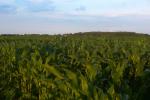 Ceny pszenicy, jęczmienia i kukurydzy w Polsce wyższe niż średnio w UE