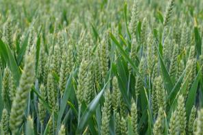 Ceny zbóż na giełdach towarowych (30.06.2019)