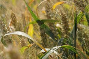 Rynek zbóż w kraju (16.02.2020)