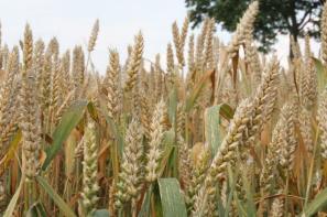 Tempo unijnego eksportu pszenicy pozostaje bardzo wolne, a import zbóż rośnie