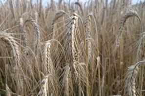 Ceny skupu zbóż według GUS