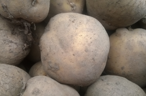 Wzrost cen ziemniaków w Unii Europejskiej