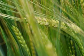 Ceny zbóż na giełdach towarowych (22.03.2020)