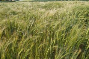 Ceny zbóż na giełdach towarowych (12.05.2019)