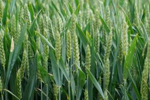 Rynek zbóż w kraju (31.03.2019)