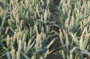 Rynek zbóż w kraju (10.03.2019)