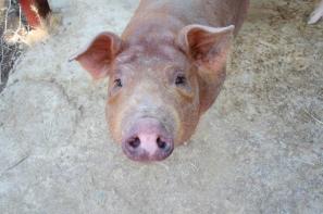 W ubiegłym roku z chowu świń zrezygnowało 30% gospodarstw