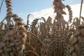 Zapowiedź suchej pogody powstrzymała wzrosty na rynku zbóż