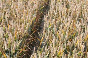 Krajowe ceny średnie większości zbóż spadały