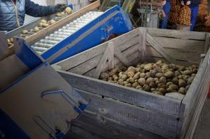 Wysokie ceny polskich ziemniaków