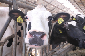 W czerwcu spadły ceny pasz dla bydła