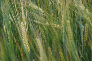Ceny zbóż na giełdach towarowych (09.06.2019)