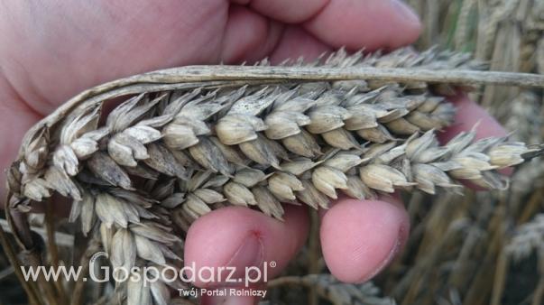 Prognozy cen zbóż na 2019 rok