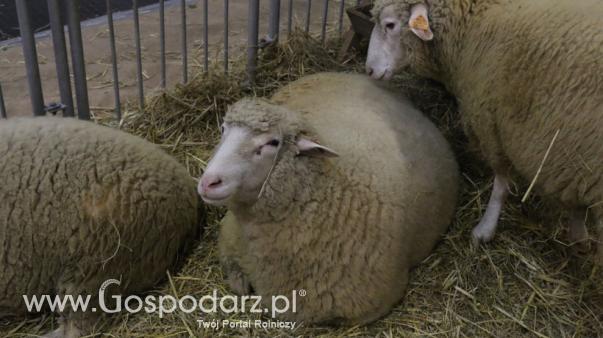 Owce podrożały