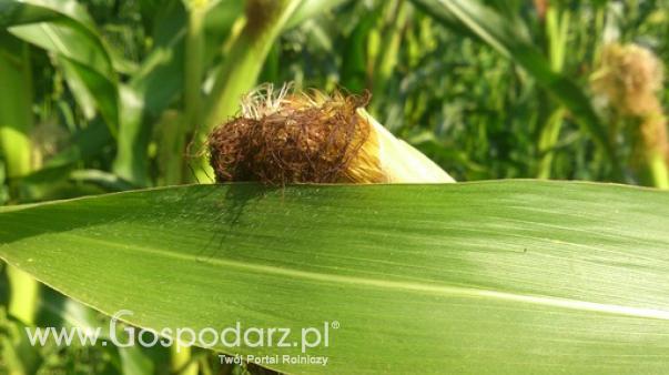 Ceny zbóż i rzepaku w kraju i portach (26.09.2016)