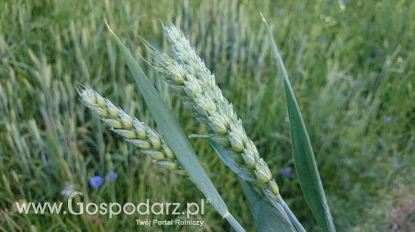 Wzrost krajowych zbiorów zbóż