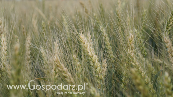 Lekkie wzrosty notowań pszenicy w Paryżu, ale spadek cen zbóż w Chicago na początku tygodnia