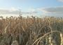 Notowania zbóż w Polsce na tle UE (20-26.11.2017)